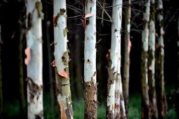 江门四男子无视护林员砍伐桉树 法律咨询:犯罪行为
